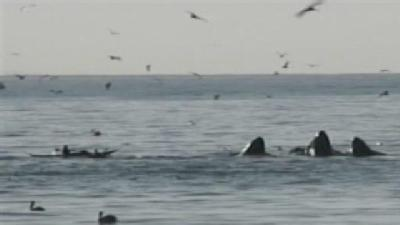 Marine Life Spikes Off Central Coast During Red Tide