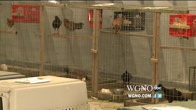 Hundreds Of Chicks Rescued From Cockfighting Ring Look For New Home