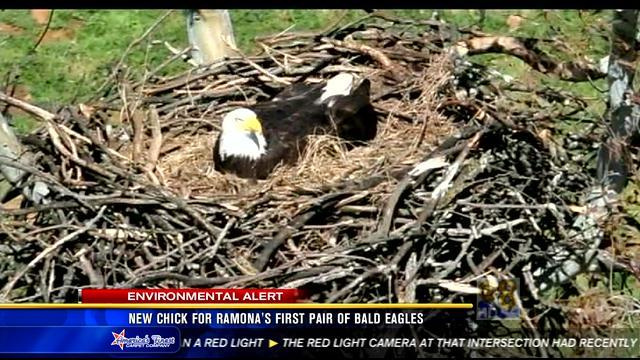 New chick for Ramona's first pair of bald eagles