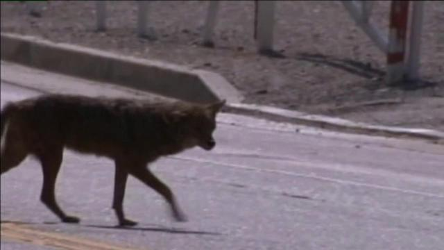 Coyotes search for water in IE communities