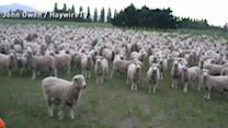 These New Zealand Sheep Love a Good Protest