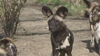 Pittsburgh Zoo Introduces African Painted Dog Pups To World Experts