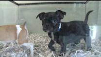 Proposed Ordinance Would Ban Sale Of Puppies At Stores