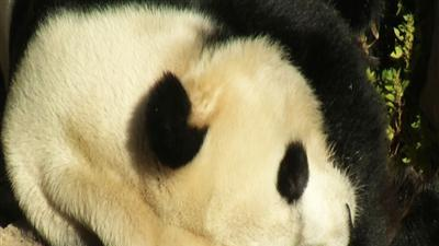 Zoo: Liver problem killed panda cub