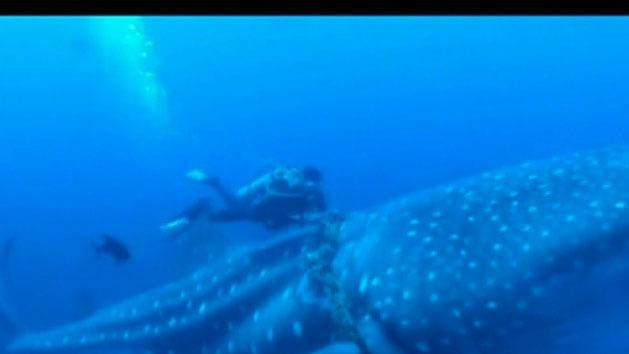 Whale shark freed from ropes