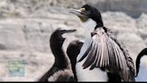 Watch: Cormorant bird dives for fish