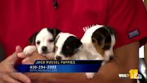 Dr. Kim brings Jack Russel pups, answers questions