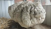 Australian sheep has 40kg of wool removed