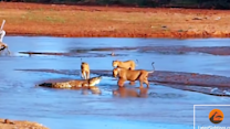 Lions Take on Crocodile in Epic National Park Fight