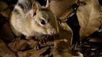 Chipmunks Battle Over Acorns
