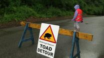 Detour Lets Baby Toads Cross the Road in Philly