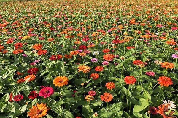 今年花色以金黃色的向日葵為主,並搭配波斯菊、百日草等