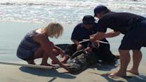 Beachgoers Face New Fear With 7-Foot Alligator