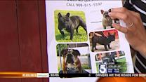 5 Prized Bulldogs Stolen from Family in San Bernardino