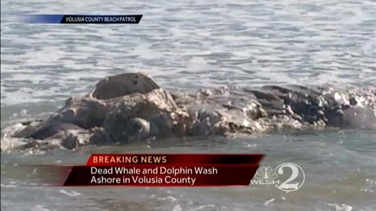 Dolphin, whale wash up on Volusia shore