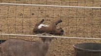'Fainting Goats' All the Talk at Pennsylvania Farm