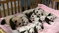 Raw: 14 Artificially-Bred Panda Cubs