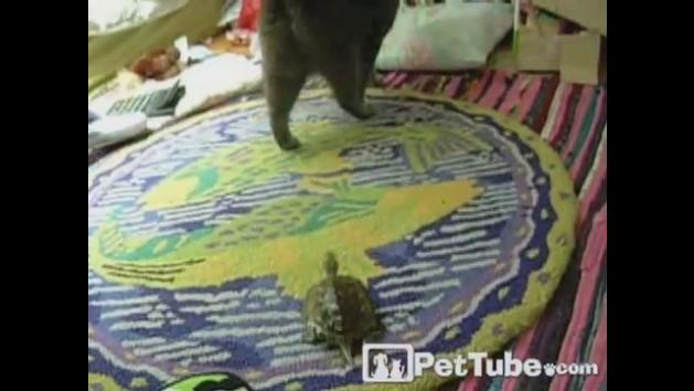 Turtle on a Cat Chase