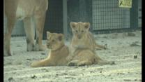 Rare lion cubs make zoo debut