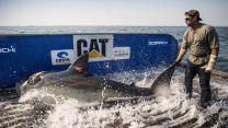 Track This Great White Shark En Route To Texas