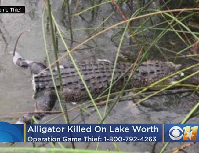 Game Wardens Seek Person Who Killed Alligator, Cut Off Its Tail On Lake  Worth