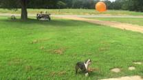 High flying Boston Terrier plays 'keepy-up' with balloon