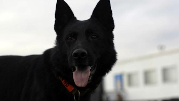 Quilled in the line of duty: K-9 cop punctured by porcupine