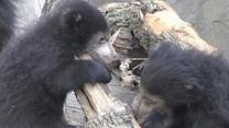 Raw: Sloth Bear Cubs Unveiled at Illinois Zoo