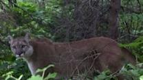 Hiker's Scary Standoff With a Mountain Lion