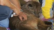 Mountain lion gets stuck in Santa Cruz aqueduct