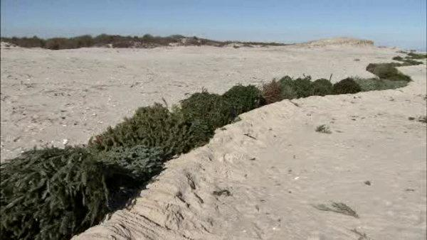 Volunteers use Christmas trees to rebuild NJ dunes
