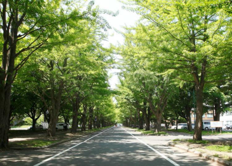 ▲可說是北海道大學校地象徵的銀杏林蔭大道