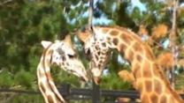 New Giraffe Arrives at Canberra Zoo