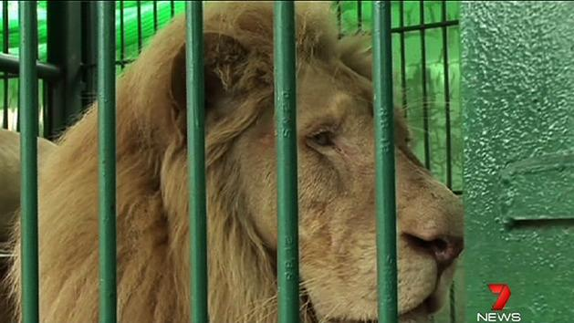 Rare white lions found in warehouse