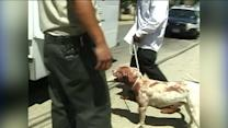 Pit Bulls, Covered in Blood, Seized After Attacking Jogger