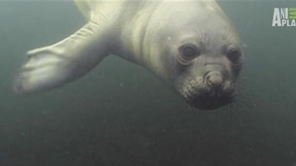 Diver Plays with Seal Pup