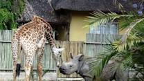 Giraffe and Rhino Have an Unlikely Friendship