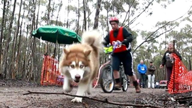 Dog sledding without the snow