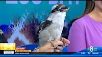 Zoo Day: Kookaburra