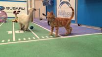 Meet the Starting Lineup for the 2017 Kitten Bowl