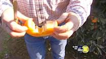 Growers scrambling to remove citrus from trees
