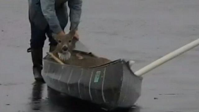 Deer Rescued From Icy Lake