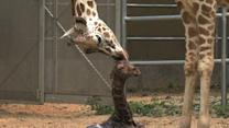 Raw: Baby Giraffe Takes First Steps