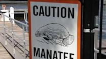Manatees Could Cause Boat Race To Be Canceled