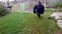 Gorilla Slams and Breaks Glass at Zoo