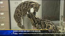 Clouded leopard cubs debut at San Diego Zoo
