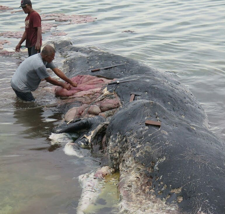 Investigators could not confirm whether the huge amount of rubbish found inside the whale was his cause of death. (WWF Indonesia/Kartika Sumolang)