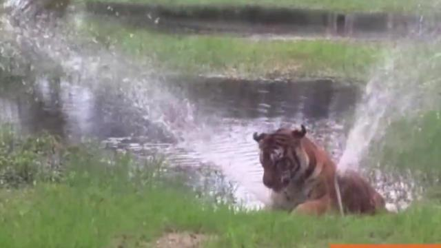 World's Oldest Tiger Loves to Play Like a Kitten in a Fountain