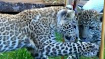 Leopard Cub Discovers Itself in the Mirror
