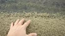 Thousands of Baby Crabs Swarm Beach